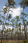 """A forest of long pine trees is aptly named """"Long Pine Key.""""  Long Pine Key lies near the eastern edge of the Everglades National Park and is accessed through the Ernest F. Coe Visitor Center."""