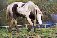 Skewbald horse in paddock, Gloucestershire, United Kingdom. In winter horses are at risk of mud fever.