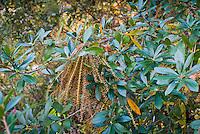 Cyrilla racemiflora Ti-Ti, Leatherwood in autumn catkins seeds