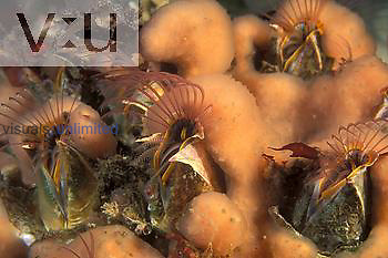 Barnacles ,Balanus, feeding, covered by compound Tunicate. British Columbia, Canada