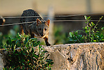 Hoary fox, Pantanal region, Brazil