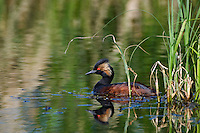 Eared Grebe floating in the water beside some reeds