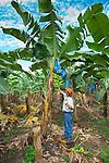 Banana Farmer Inspects A Bunch Of Bananas On His Banana Plantation In Costa Rica.