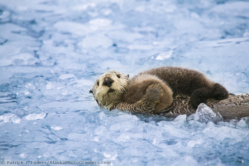 Sea otter with pup, Prince William Sound, Alaska