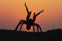 Texas Brown Tarantula (Aphonopelma hentzi), adult at sunset in defense posture, Sinton, Corpus Christi, Coastal Bend, Texas, USA