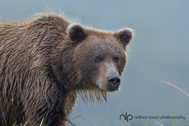 Brown bear portrait;  Lake Clark, Alaska in wild.