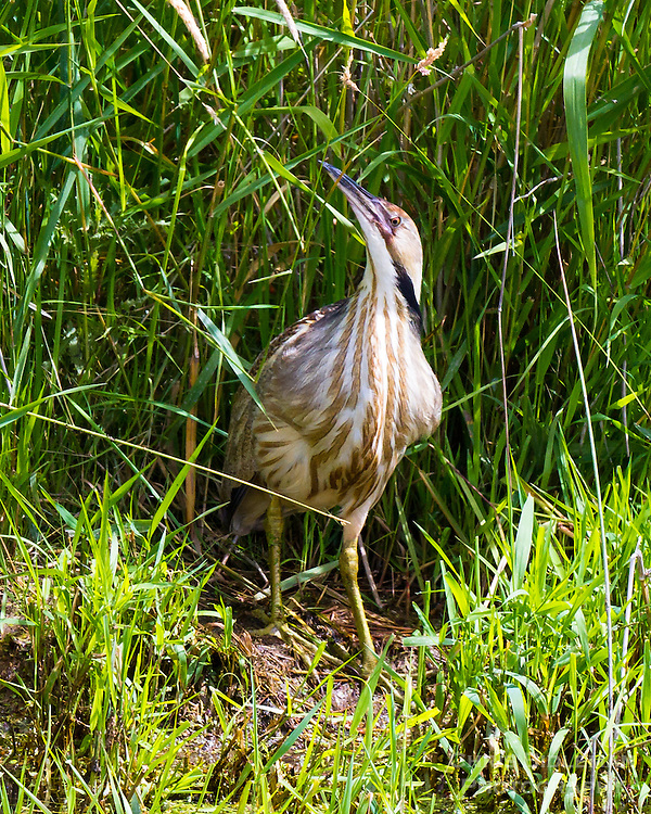 An American Bittern (Botaurus lentiginosus) is standing in the tall, green grass along a stream bank with his head tilted up looking at the view in the Ridgefield National Wildlife Refuge.