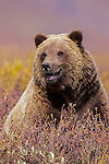 Brown bear or grizzly, Denali National Park, Alaska