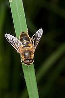 Lange Bienen-Schwebfliege, Lange Bienenschwebfliege, Weibchen, Eristalis pertinax, drone fly