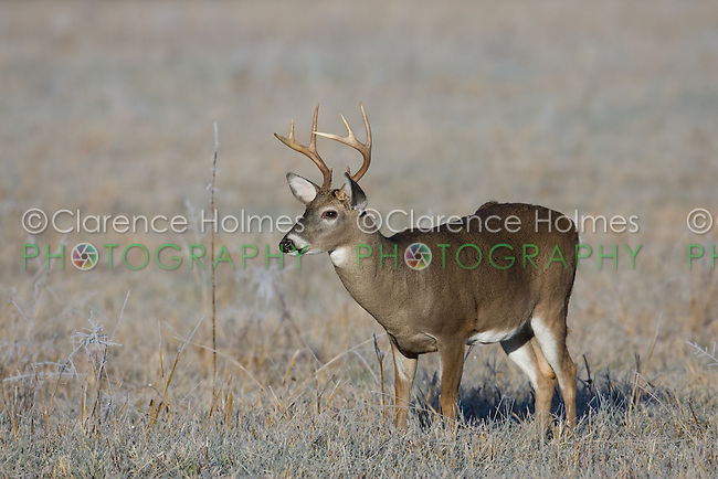 Young white-tailed deer buck during the fall rut