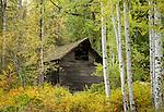 Idaho, North, Kootenai County, Kingston, Enaville. A barn hides in the autumn foliage.
