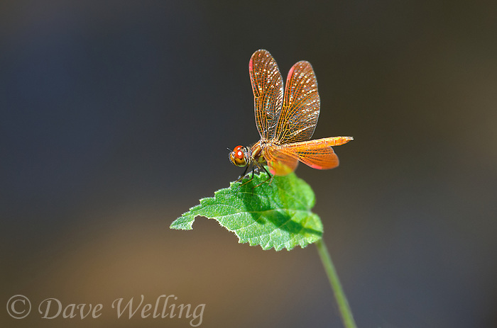 304590009 a wild male slough amberwing perithemis domitia perches on a plant leaf over a small stream near ranch headquarters on muleshoe ranch cochise county arizona