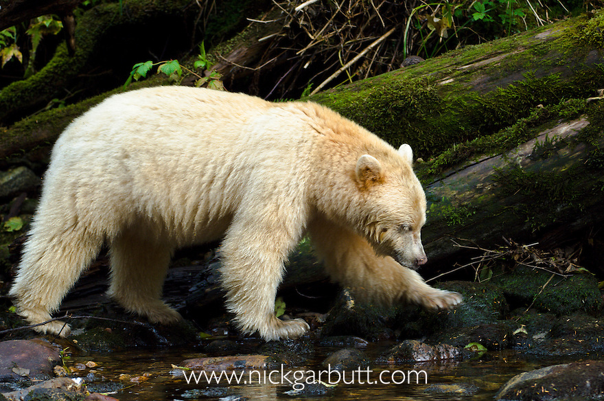 Adult Spirit Bear or Kermode Bear (Ursus americanus kermodei) - white morph of the black bear- by stream fishing for salmon. Princess Royal Island, Great Bear Rainforest, British Columbia, Canada