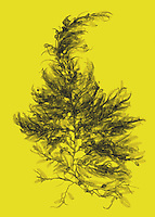 An x-ray of sargassum seaweed (Sargassum fluitans) with false color.