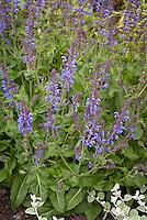 Salvia Rhapsody in Blue, bred by Piet Oudolf, meadow sage hybrid