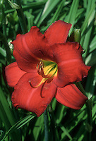 Hemerocallis Chicago Apache daylily in vivid red color