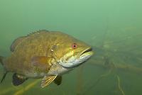 Smallmouth Bass, Underwater