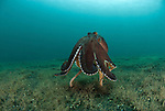 "Coconut octopus or the veined octopus (Octopus marginatus) ""walking"" on its tentacles"