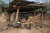 Pig farming, Vietnam