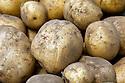 WA09776-00...WASHINGTON - Potatos fresh from a home garden.