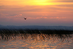 "A Black tern in flight over bullrush on Lake Christina at sunrise.  Lake Christina is classified as a ""shallow prairie lake"" and a successful restoration project where water clarity and healthy ecosystem has been restored.  Douglas County, Minnesota."