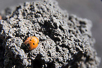 Etna, Sicily, June 2006. A ladybug is the only sign of life in the black lava desert. The Etna erupts almost every other year. Climbing it, one can peek into the steaming craters. The volcanoes of Southern Italy offer a spectacular landscape for trekking while staying in picturesque towns. Photo by Frits Meyst/Adventure4ever.com