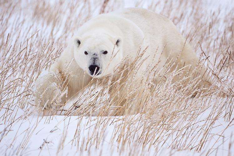 Polar Bear (Ursus maritimus) prowling through the snow and grass near Seal River, Manitoba, Canada