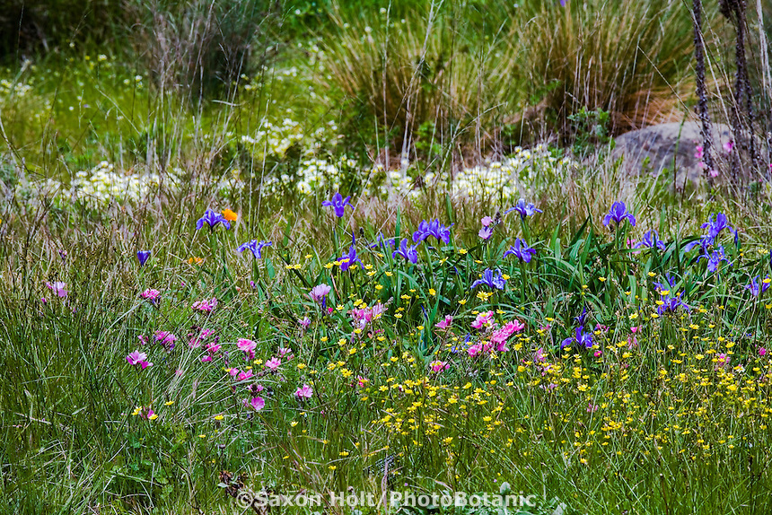 California spring meadow garden with grasses, rushes, sedges and wildflowers (Iris, Buttercups, Checkerbloom - Sidalcea), Menzies native plant garden