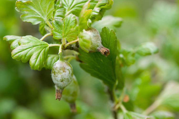 American gooseberry mildew. Initially, powdery .white patches appear on shoots .and leaves, then on the fruits .themselves. New shoots may .become misshapen and fail to .grow properly. Eventually, the .skins of the fruits may turn brown .and felt-like or leathery and, .although the mildew can be .removed and the fruits eaten, they .are not very tempting.