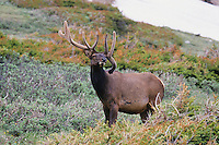 Elk, Wapiti (Cervus elaphus), bull, Rocky Mountain National Park, Colorado, USA