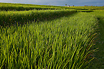 Detail of ricefield view