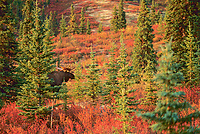 Bull moose in boreal forest of spruce trees, autumn tundra ablaze in morning sunshine, Denali National Park, Alaska