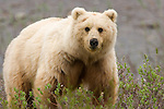 Consuming a varied diet from nutrient-rich bulbs to caribou calves, a blond grizzly constantly forages for food.