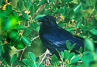 513100003 wild adult tamaulipas crow corvus imparatus perches in a large tree in tamaulipas state mexico