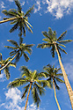 Coconut palm trees with blue sky and white clouds; Kahana Valley State Park, windward Oahu, Hawaii.