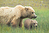 Alaskan Brown Bear Sow Guarding Cub in Meadow, Lake Clark National Park, Alaska