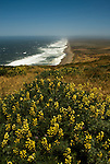 California: Yellow lupines at Point Reyes National Seashore near San Francisco. Photo copyright Lee Foster. Photo # casanf81228