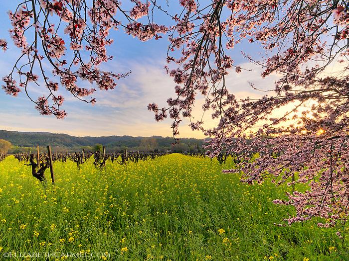 Calistoga Blossoms