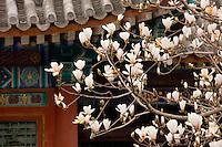 Magnolia tree at The Summer Palace, Beijing, China