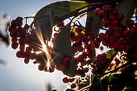 Sunbursts, two, shine through clusters of red berries along a path at a neighborhood park.