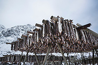 Cod stockfish hang to dry in snow covered winter landscape, Å, Moskenesøy, Lofoten Islands, Norway