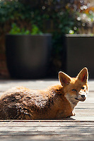Urban fox, Vulpes vulpes, sunbathing on decking in a city garden in Hampstead, London