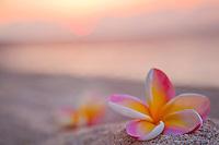 Plumerias on the beach at sunset