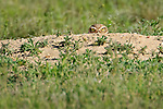 A burrowing owl (Athene cunicularia) peers from  its burrow on the Pawnee National Grasslands, northern Colorado.