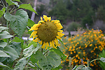 Sunflower in garden at Esalen