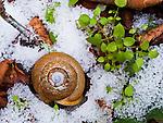 Land Snail, velvet covert (Inflectarius subpalliatus) in snow