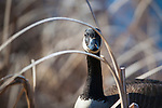 a canada goose peers through reeds in a marsh in montana