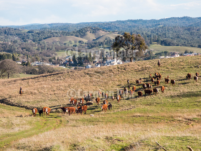Gathering the cattle with a backdrop of the Mother Lode City of Jackson, Calif. during the calf branding and marking with the Busi family at their ranch.