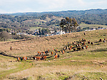 2015-Winter calf branding, Amador County