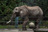 """Elephants on display at the Woodland Park Zoo in Seattle, Wash. on December 15, 2011.  First one photographed is Bamboo, a female Asian elephant born in Thailand in 1967.  (44 years old).  Followed by Watoto, a female African elephant born in 1969/1970. You can tell them apart because Bamboo is """"hairier"""".  The third elephant seen in the outside photos is Chai born in 1979 in Thailand.  The elephants were in the barn for their daily bath.  Steam can be seen rising from their backs afterwards on this chilly, rainy day.  Also, photographed are the lion-tailed macaques.  The temperature in Seattle at 10am was 41 degrees, lightly raining. (photo Karen Ducey)"""